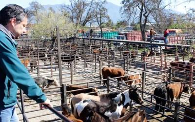 SAG realiza fiscalización en Feria de Animales de San Fernando y lugares de expendio de carnes