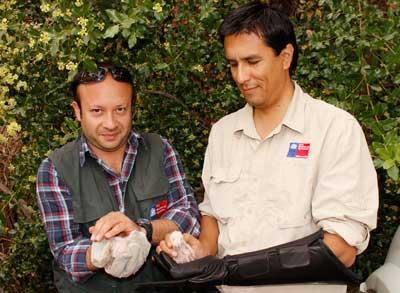 Polluelos de lechuza fueron rescatados por el SAG