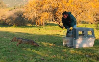 SAG libera a zorro culpeo en precordillera de San Fernando