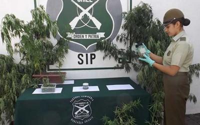 carabineros detenido plantas y aceite de marihuana