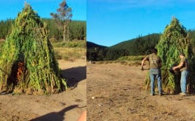 marihuana pichilemu