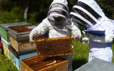 Indap abejas
