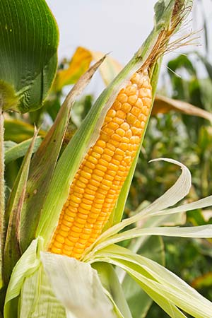 agricultura bono maiz