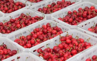 exportacion de cerezas