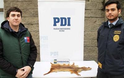 PDI encuentra piel pudu