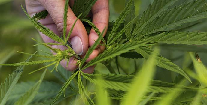 Marihuana Graneros