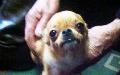 PDI recupera chihuahua robado en chillan