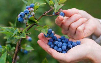 Los arándanos puede ser la fruta chilena con mayor valor de exportación
