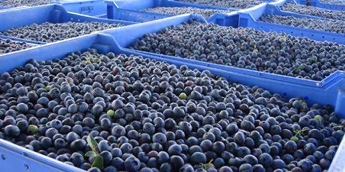 Estiman exportación por más de 7 mil toneladas de arándanos en la Sexta Región