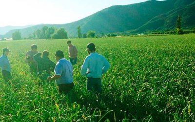 Productores de ajos de la Región participan en taller de cosecha y post cosecha