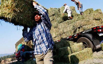 60% de la demanda de forraje en la Sexta Región está cubierta