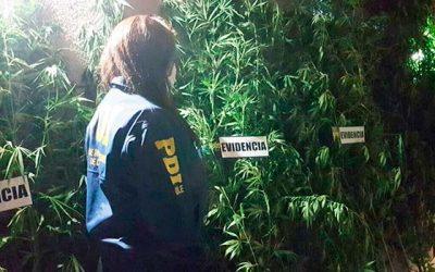 PDI y la Conaf detectan 179 plantas de cannabis en Pichilemu