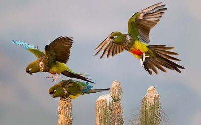 La Conaf y Parque Safari realizan conteo de loros Tricahues en la Provincia de Cachapoal