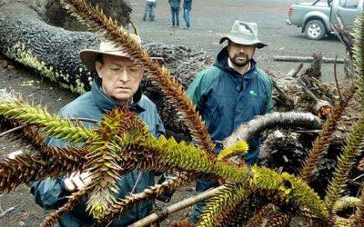 Connotado investigador sudafricano llega a Chile para estudiar daño a las araucarias