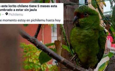 PDI Incauta loro en peligro de extinción que estaba a la venta en Pichilemu