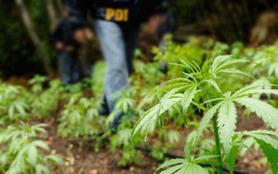 PDI marihuana