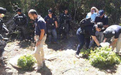 PDI y Armada efectúan incautación de 146 plantas de cannabis en Bucalemu