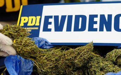 PDI Detectives detienen a padre e hijo por cultivar de marihuana en comuna de Las Cabras