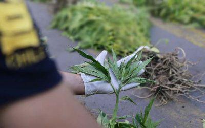 PDI detiene a ciudadana española por cultivo de marihuana