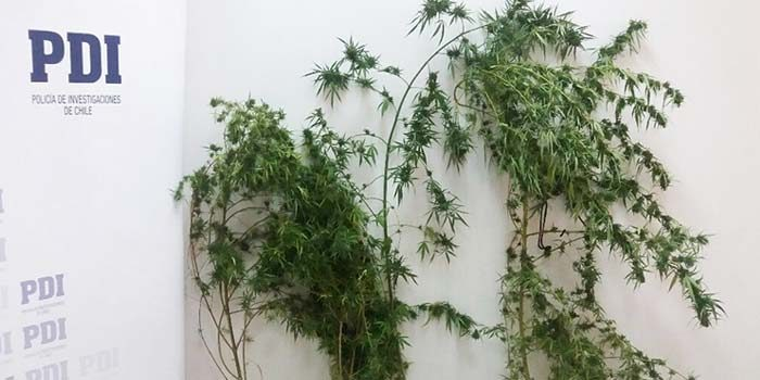PDI detiene a mujer por mantener seis plantas de cannabis en Rengo