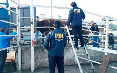 PDI Vacunos robados en San Fernando fueron recuperados en matadero de La Pintana