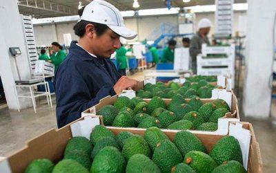 Cómo mantener la calidad de las paltas durante su exportación