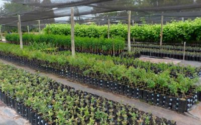 Más de dos mil 300 árboles nativos llegan a la comuna de Olivar