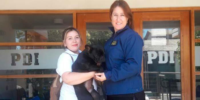 PDI recupera perro bulldog en San Fernando