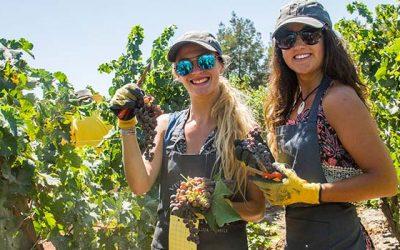Invitan a cosechar en el valle de Colchagua