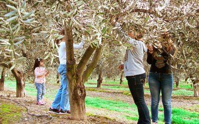 Propietarios de condominio podrán fabricar su propio aceite de oliva