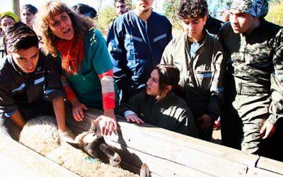 Estudiantes de Medicina Veterinaria UOH conocen procesos de reproducción ovina