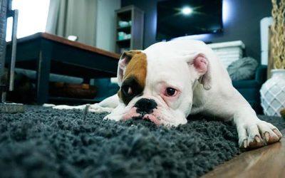 Perros pequeños y vida en departamentos: 4 cosas que tienes que saber