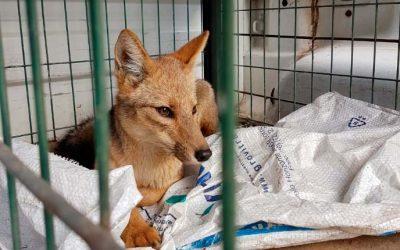 Capturan zorro que merodeaba área urbana de Rancagua