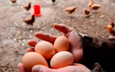 Consumo de huevos libres es duplicado entre los chilenos en los últimos años