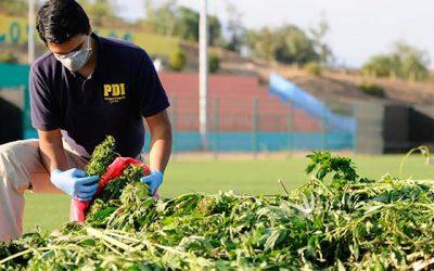 pdi cannabis marihuana