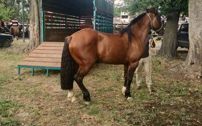 PDI Rancagua recupera caballo avaluado en 40 millones de pesos