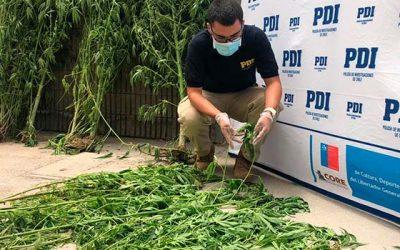 Detectives incautan cerca de 60 plantas de marihuana en la comuna de Olivar