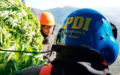 PDI erradica más de 7 mil plantas de cannabis