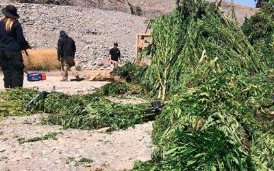 PDI logra detectar e incautar casi 4 mil plantas de cannabis en tres días