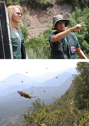 SAG O'Higgins y Parque Safari reinsertan a una gran colonia de loros nativos rehabilitados de diversas lesiones y tenencia ilegal