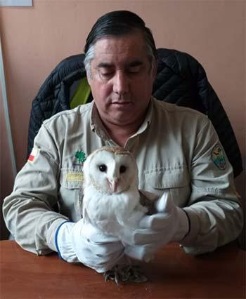 Conaf rescata lechuza encontrada en Doñihue