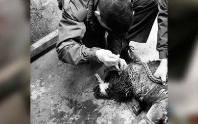 Perro herido fue auxiliado por carabineros de San Fernando