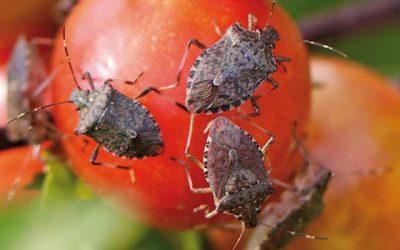 SAG lanza nueva aplicación que permitirá identificar plagas que afectan a cultivos