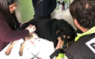 Trabajo conjunto de Bomberos y municipio logra rescatar un animal herido en Graneros