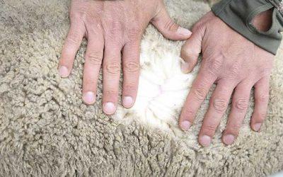 Científicos chilenos trabajan mejoramiento genético de la oveja merino, cuya lana es la más fina del mundo