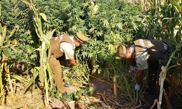 Detenido por cultivo de cannabis sativa en Las Cabras