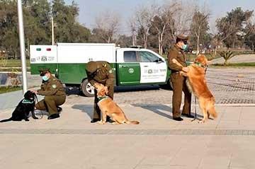 Entrenan perros para detectar a personas contagiadas con COVID-19