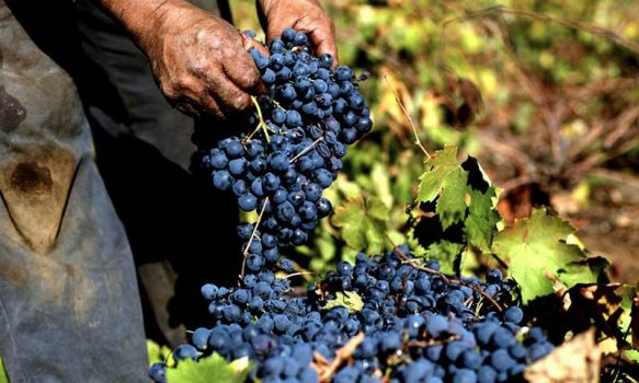 Impulsan vinos de pequeños agricultores con rescate patrimonial del Valle de Cachapoal de arropes, pipeños y asoleados