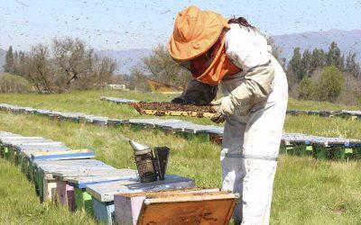 apicultura abejas indap