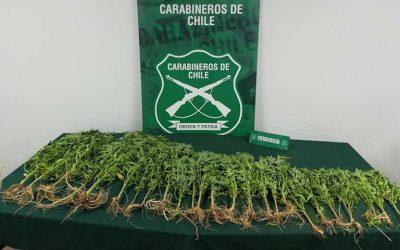 Coltauco: Carabineros descubren plantación ilegal de marihuana